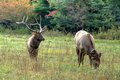 Bull elk and his lady at cataloochee in the great smoky mountains national park as rut is on of north carolina is best place to Royalty Free Stock Photo