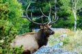 Bull elk this image of a was captured in the rocky mountain national park in early autumn Stock Photography