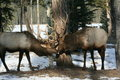 Bull elk 'kissing' in Jasper National Park Stock Images