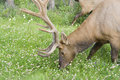 Bull elk on a meadow Royalty Free Stock Photography