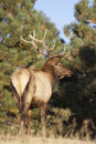 Bull Elk Near Pines Royalty Free Stock Photos