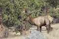Bull Elk in Pines Royalty Free Stock Photos