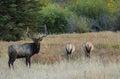 Bull Elk at Rocky Mountain National Park Royalty Free Stock Photo