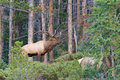 Bull elk in rut a during the fall bugling Royalty Free Stock Image