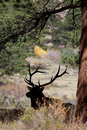 Bull elk silhouetted under pine a bedded a tree Royalty Free Stock Images