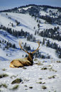 Bull elk in the snow Royalty Free Stock Photo