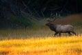 Bull Elk At Sunrise In Yellows...