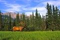 Bull Elk in Velvet Royalty Free Stock Photo