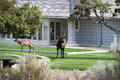 Bull elk a visiting a residential home Royalty Free Stock Image