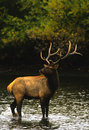 Bull Elk in Water Stock Photography
