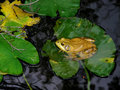 Bull Frog on a Lily Pad Royalty Free Stock Photo
