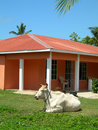Bull on house property big corn island nicarag Stock Photo