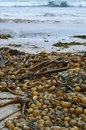 Bull kelp at guise bay lots of washing up on the shores of cape scott provincial park Royalty Free Stock Image
