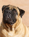 Bull Mastiff close up looking up Stock Image