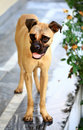 Bull-mastiff dog puppy Royalty Free Stock Photo