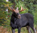 Bull moose Royalty Free Stock Photo