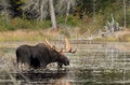 Bull Moose in autumn in Algonquin Park Royalty Free Stock Photo