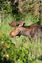 Bull moose in Algonquin Park Royalty Free Stock Photo