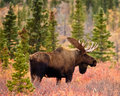 Bull moose in autumn a wanders through the forest alaska s denali national park fall Royalty Free Stock Photos
