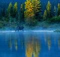 Bull Moose Feeding In Lake Royalty Free Stock Photo