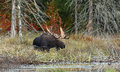 Bull Moose grazing in autumn in Algonquin Park Royalty Free Stock Photo