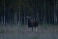Bull moose at night autumns Royalty Free Stock Photo