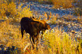 Bull Moose in the River Bed Royalty Free Stock Photo