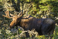 Bull moose in the sun a standing a sunny spot off skyline trail cape breton highlands nova scotia Royalty Free Stock Photo