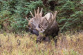 Bull Moose in Velvet Royalty Free Stock Photo