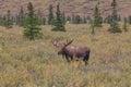 Bull Moose in Velvet in Alaska Royalty Free Stock Photo