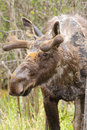 Moose with Velvet Antlers Royalty Free Stock Photo