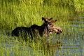 Bull moose wades in deep water. Stock Photos