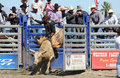 Bull Rider Out of The Gate Stock Image