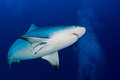 Bull shark ready to attack in the blue ocean background Royalty Free Stock Photo