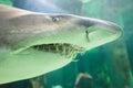 Bull shark Royalty Free Stock Photo