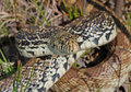 Bull Snake Stock Photography