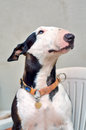 Bull Terrier Royalty Free Stock Photo