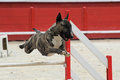 Bull terrier in agility Stock Photos
