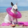 Bull terrier on the beach Royalty Free Stock Photo