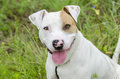Bull Terrier bulldog mixed breed dog