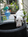 Bull terrier dog bite a tyre Royalty Free Stock Photo