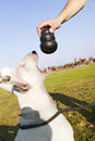 A bull terrier dog looking up at the chew toy his trainer s hand is holding just about to bite on it Stock Photography