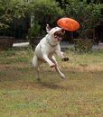Bull terrier dog playing and bite rubber dog toy Royalty Free Stock Photo