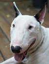 Bull terrier dog smiling and looking at the camera posing Royalty Free Stock Photography