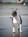 Bull terrier miniature tricolor outdoors Royalty Free Stock Photos