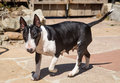 Bull terrier mom walking through the yard an english Stock Photos
