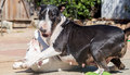 Bull terrier mom wrestling with her baby an english Stock Photo