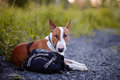 The bull terrier protects a bag english thoroughbred dog canine friend red dog Royalty Free Stock Images