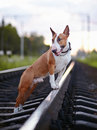 Bull terrier and railroad english thoroughbred dog canine friend red dog on rails Royalty Free Stock Image