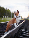 Bull terrier on rails english thoroughbred dog canine friend red dog and railroad Stock Photography